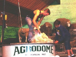 An expert shearing a sheep