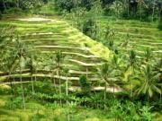 Tegallalang paddy terraces