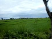 Paddy, an important Bali crop
