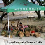 A good longan fruit harvest