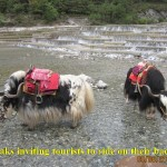Yaks waiting to carry tourists