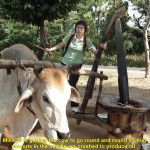 A Malaysian tourist, Oi, gets the cow to mill peanuts to obtain oil