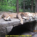 Lions having a siesta in Safari World