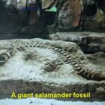 A salamander fossil