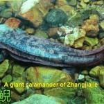 A giant salamander