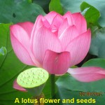 A lotus flower and seeds
